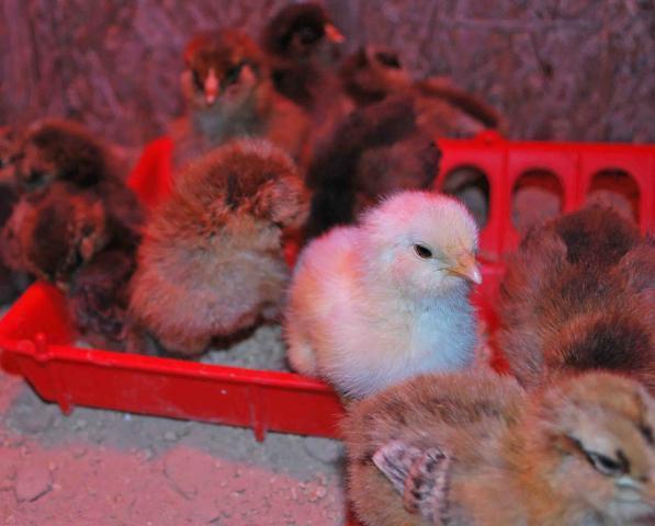 http://www.backyardchickens.com/forum/uploads/66877_dsc_0173.jpg