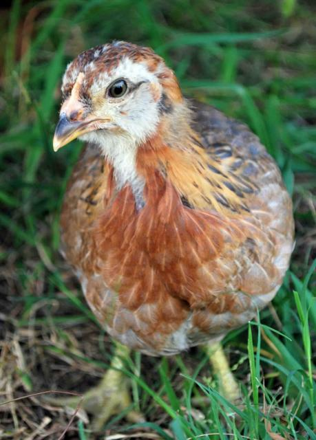 http://www.backyardchickens.com/forum/uploads/66877_dsc_0397.jpg