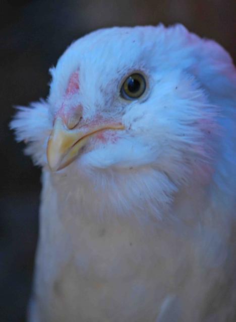 http://www.backyardchickens.com/forum/uploads/66877_dsc_7870_yeti1.jpg