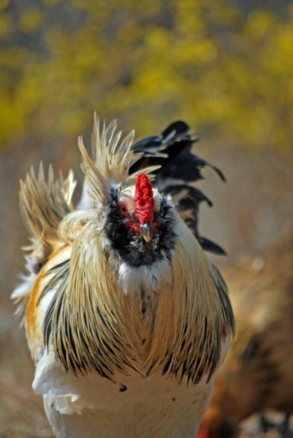 http://www.backyardchickens.com/forum/uploads/66877_oreo_1.jpg