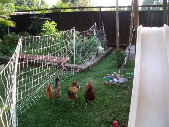 http://www.backyardchickens.com/forum/uploads/67166_101511.jpg