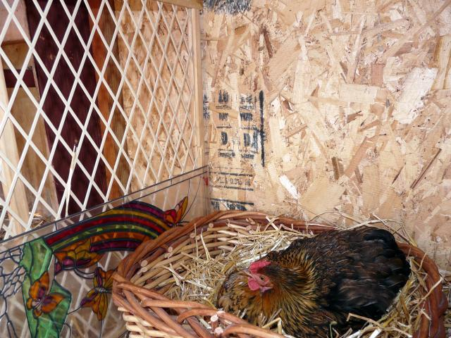 http://www.backyardchickens.com/forum/uploads/67374_broody_hen_008.jpg
