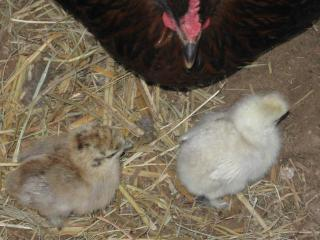 New baby Silkies