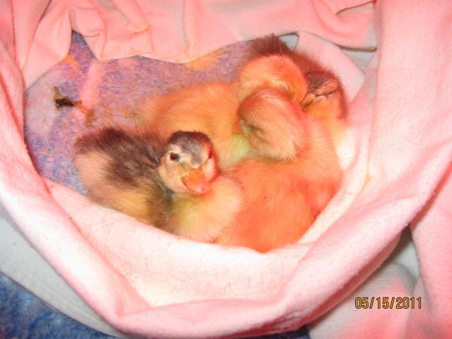 http://www.backyardchickens.com/forum/uploads/68014_duck_eggs_hatch_131.jpg