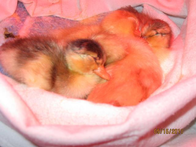 http://www.backyardchickens.com/forum/uploads/68014_duck_eggs_hatch_138.jpg