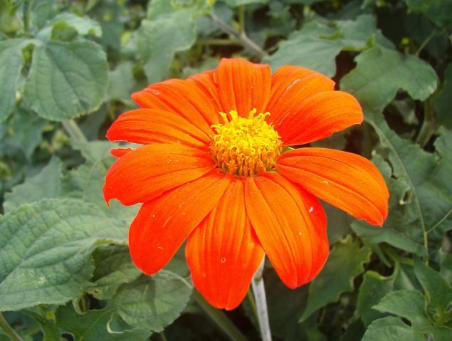 Mexican Sunflower Torch
