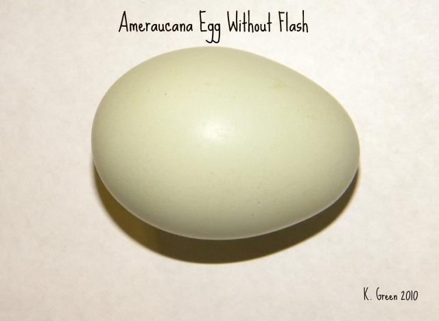 Ameraucana Eggs Difference In Color Backyard Chickens