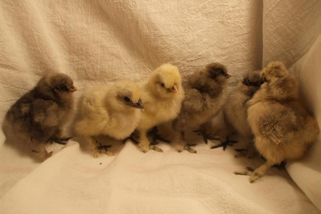 http://www.backyardchickens.com/forum/uploads/68100_dscf7124.jpg