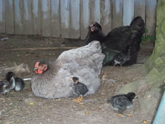 http://www.backyardchickens.com/forum/uploads/68265_100_0369.jpg