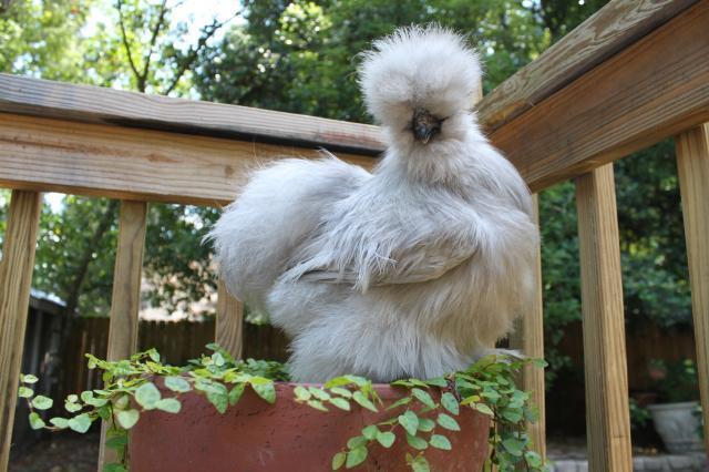 http://www.backyardchickens.com/forum/uploads/68297_lazarus.jpg
