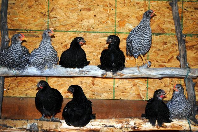 http://www.backyardchickens.com/forum/uploads/68634_dsc_0056.jpg