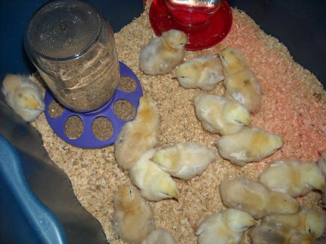 http://www.backyardchickens.com/forum/uploads/69120_dscn0049.jpg