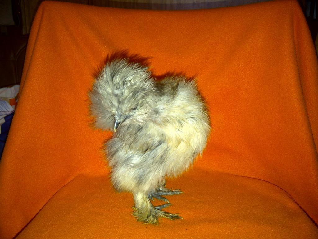 69260_silkie_chicks_001.jpg