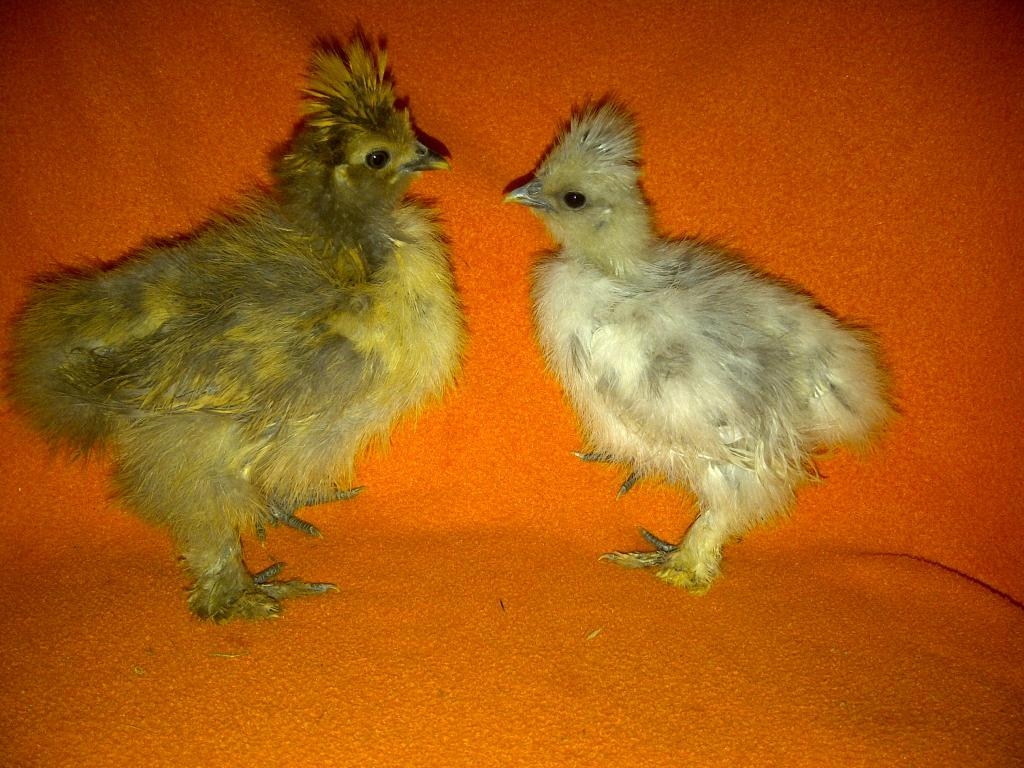 69260_silkie_chicks_018.jpg