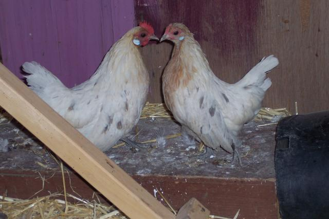 http://www.backyardchickens.com/forum/uploads/69624_100_7626.jpg