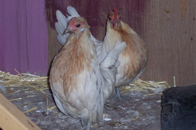 http://www.backyardchickens.com/forum/uploads/69624_100_7628.jpg