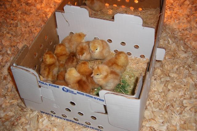 http://www.backyardchickens.com/forum/uploads/69833_dscf2648.jpg