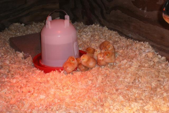 http://www.backyardchickens.com/forum/uploads/69833_dscf2649.jpg