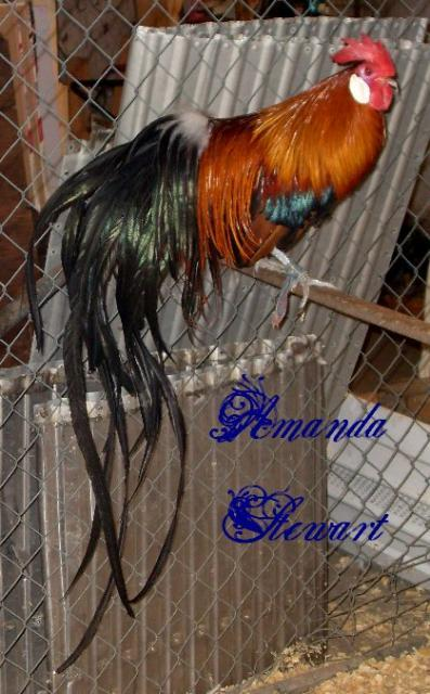 http://www.backyardchickens.com/forum/uploads/70005_bbredphoenixroo.jpg