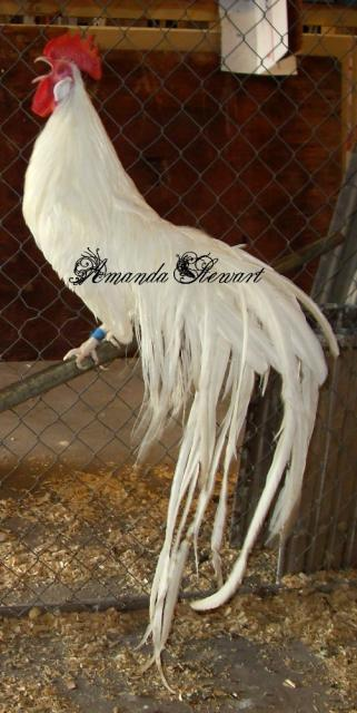 http://www.backyardchickens.com/forum/uploads/70005_white_rooa.jpg