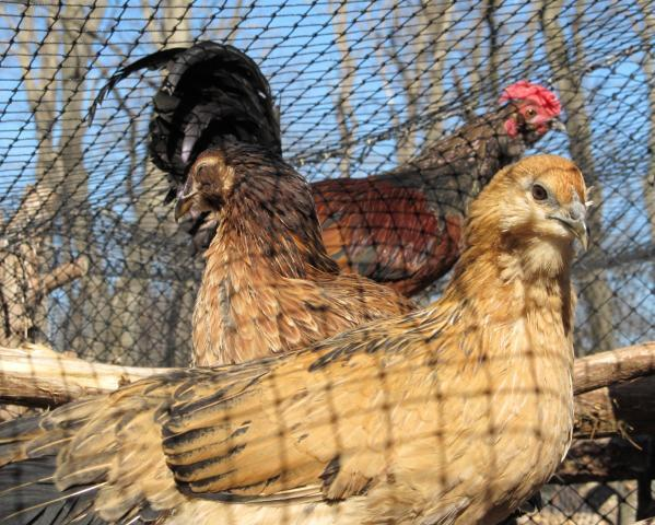 http://www.backyardchickens.com/forum/uploads/70075_micronesian_breeding_hens.jpg