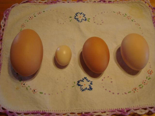 7036_first_serama_egg_067.jpg