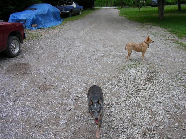 http://www.backyardchickens.com/forum/uploads/70399_foxie_sugar_5_2011.jpg