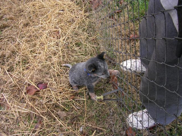 http://www.backyardchickens.com/forum/uploads/70399_sugar_at_fence_8wks_11_29_10.jpg