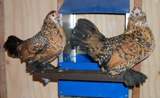 http://www.backyardchickens.com/forum/uploads/7083_100_0215_640x394.jpg