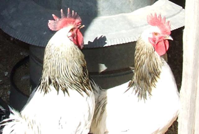 http://www.backyardchickens.com/forum/uploads/70915_dscf0724s.jpg