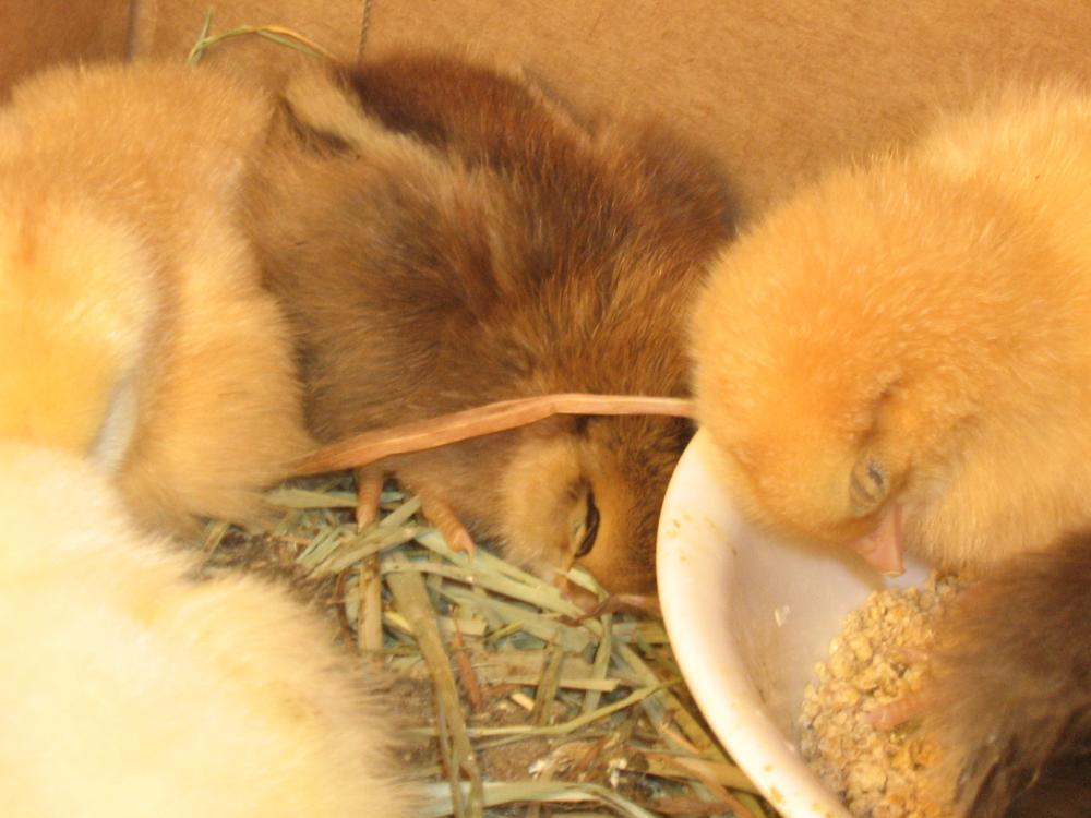 Most Cute Barred Rocks Easter Eggers And Silkies Contest Page 3