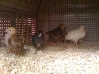 more chicks