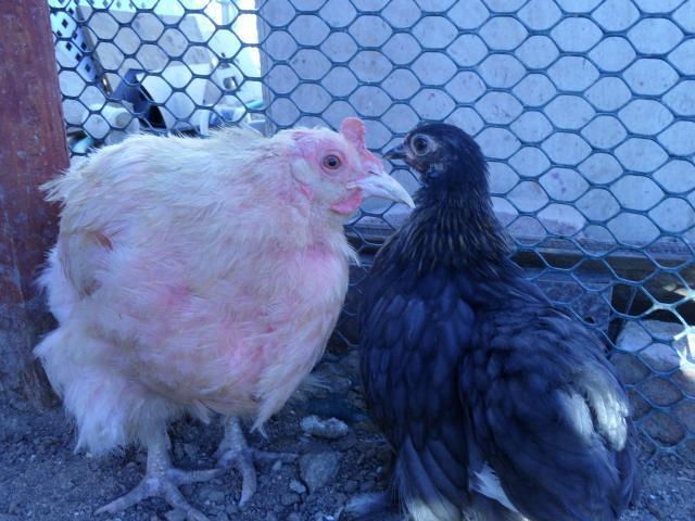 http://www.backyardchickens.com/forum/uploads/71441_skippys_kin_020.jpg