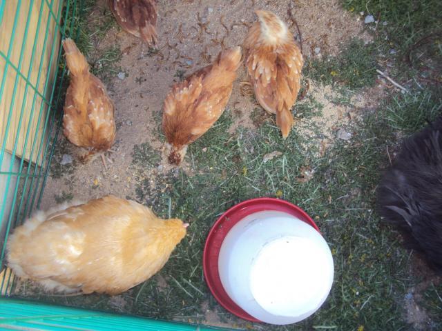 http://www.backyardchickens.com/forum/uploads/71441_sugarr_021.jpg