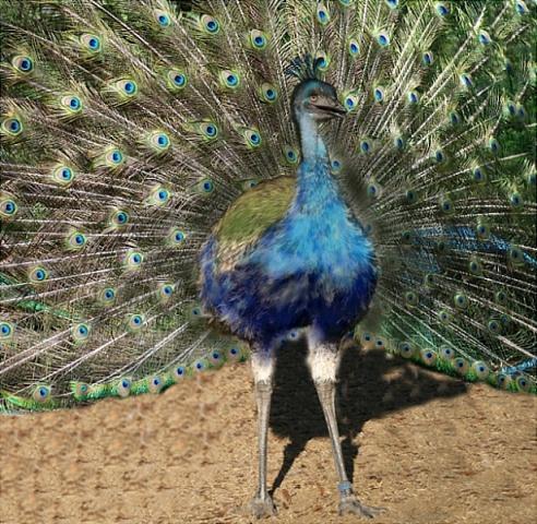 http://www.backyardchickens.com/forum/uploads/7205_peaemu.jpg