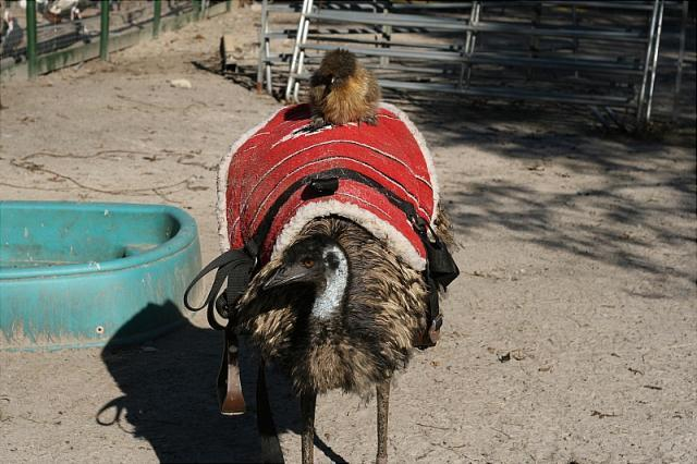 http://www.backyardchickens.com/forum/uploads/7205_silkie_riding_emu2.jpg