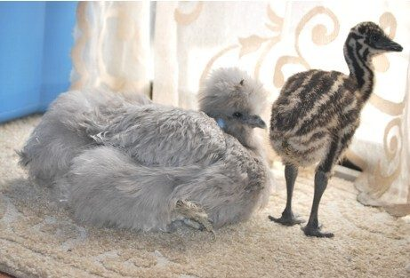 http://www.backyardchickens.com/forum/uploads/7205_sophie___emu_laying.jpg
