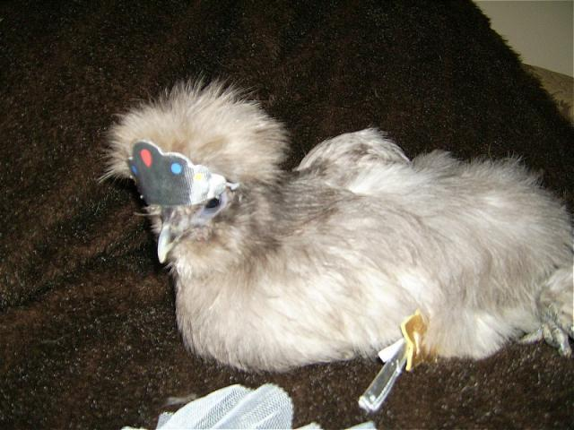 http://www.backyardchickens.com/forum/uploads/7205_sophie_princess.jpg