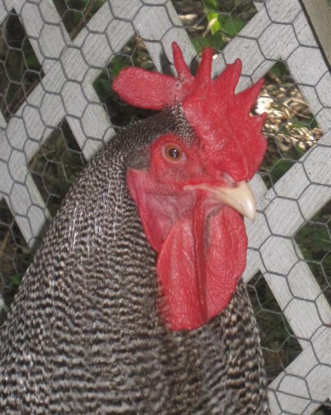 http://www.backyardchickens.com/forum/uploads/72957_img_3263.jpg