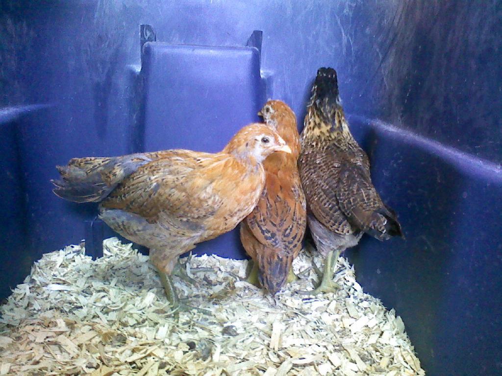 http://www.backyardchickens.com/forum/uploads/73334_0530111521.jpg