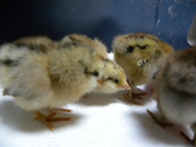 http://www.backyardchickens.com/forum/uploads/73334_dscn2435.jpg