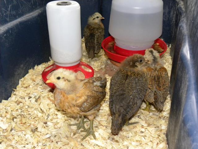 http://www.backyardchickens.com/forum/uploads/73334_dscn2567.jpg