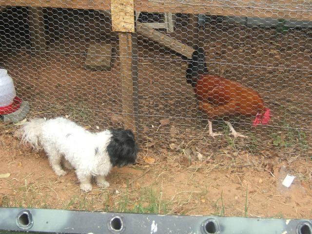 http://www.backyardchickens.com/forum/uploads/73816_bo_and_mr_vic.jpg