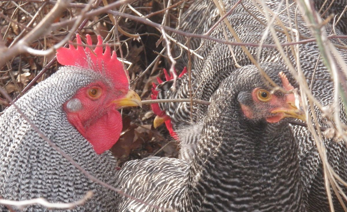 barred rock rooster vs hen - photo #26
