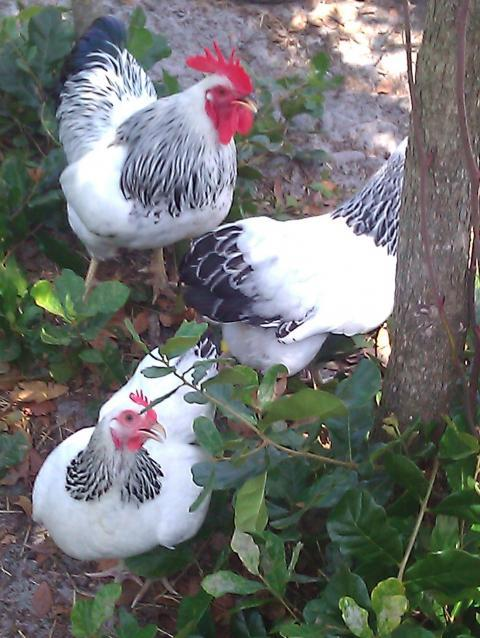 http://www.backyardchickens.com/forum/uploads/74850_colplyrocks.jpg