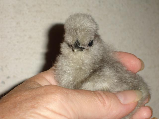 Gray Silkie Chick