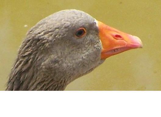 http://www.backyardchickens.com/forum/uploads/7514_goose.jpg