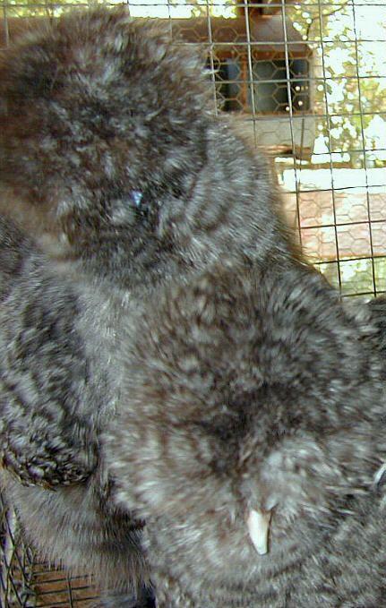 http://www.backyardchickens.com/forum/uploads/7576_dscn0010.jpg