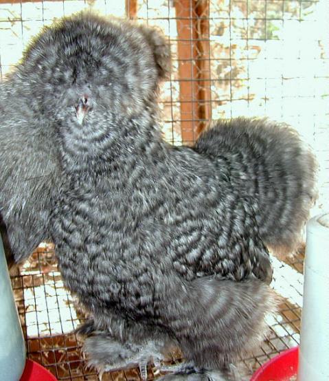 http://www.backyardchickens.com/forum/uploads/7576_dscn13.jpg