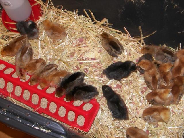76084_chicks.jpg